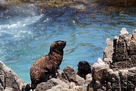 South American fur seal pup (Arctocephalus australis)