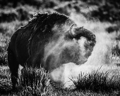 6048-Bison_du_Yellowstone_Wyoming_USA_2014_Laurent_Baheux