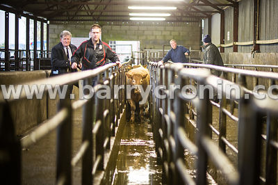 27th October, 2015.An animal heading for sale pictured at Ballyjamesduff Mart, County Cavan. Photo:Barry Cronin/www.barrycron...