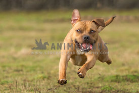 Tan coloured Staffordshire Bull Terrier running mid air against grass background