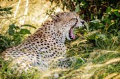 Tired African Cheetah Yawning