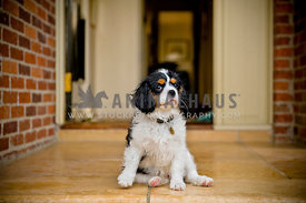 King Charles Cavalier Spaniel puppy sitting on front porch