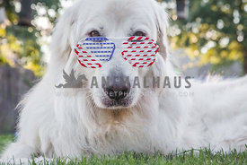patriotic dog with glasses