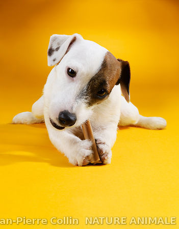 Jack Russel terrier - Pedigree