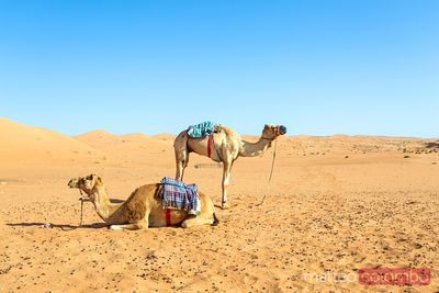Two camels in the desert, Wahiba sands, Oman