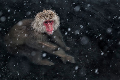 Japanese Macaque (Macaca fuscata) adult in the hot springs of Jigokudani, in the snow, Japan. February