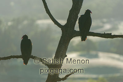 Turkey Vultures (Silhouette), San Jose, CA, USA