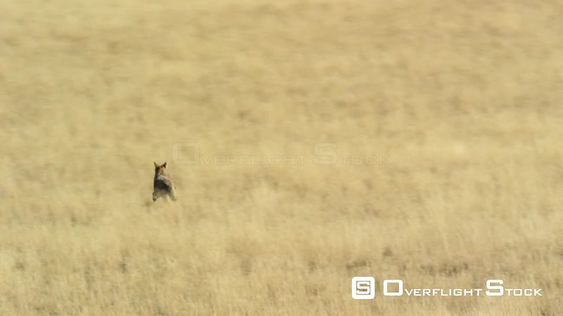 A coyote runs through the golden hay fields in the Madison valley in southwestern Montana