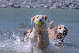 Dogs splashing in river with a ball in the Summer