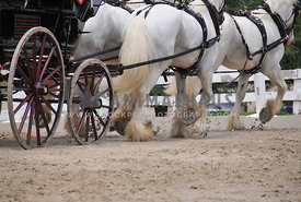 gray harness horse hooves