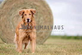 Older dog in front of a hay bale