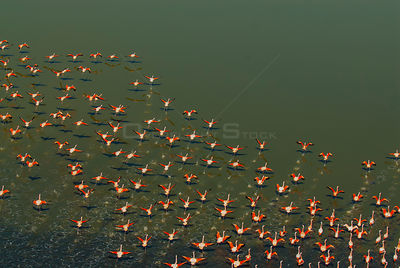 Chilean flamingo (Phoenicopterus chilensis) flock taking off from above, La Pampa , Argentina