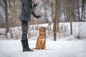 Duck Tolling Retriever being trained in snow with dog mom.