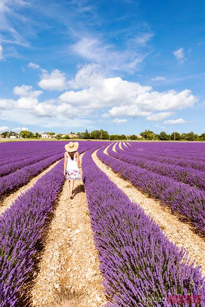 Woman walking in lavender field in summer, Provence, France