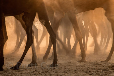 Camels stampede through dusty desert at the Pushkar Camel Mela, Pushkar, Rajasthan, India.