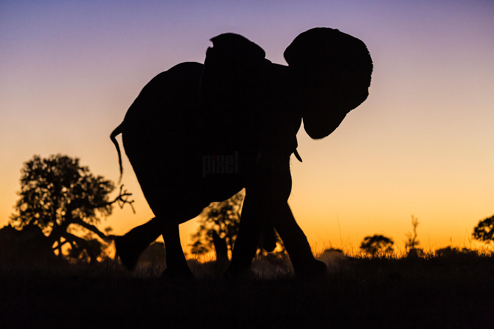 Young Elephant Against Sunset Sky