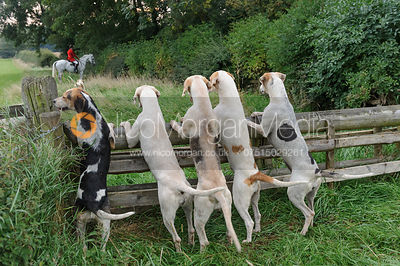 Hounds watch the Huntsman over a hunt jump