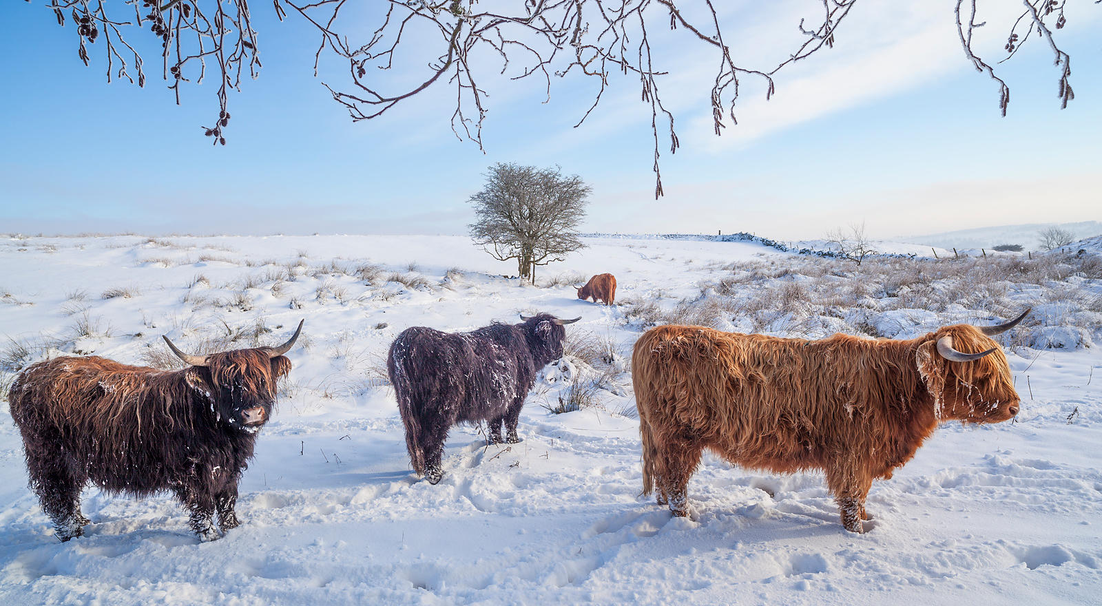 Highland cattle in snow on Curbar Edge