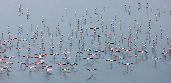 Lesser Flamingos (Phoeniconaias minor) with wings open, aerial view, Lake Magadi, Rift Valley, Kenya