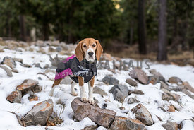 Beagle in forest hiking in snow during winter