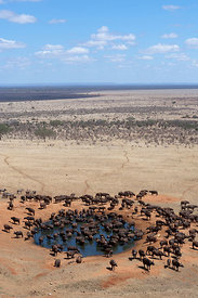 African buffalo (Syncerus caffer) herd drinking in front of Voi lodge, aerial view, Tsavo East National Park, Kenya, October ...