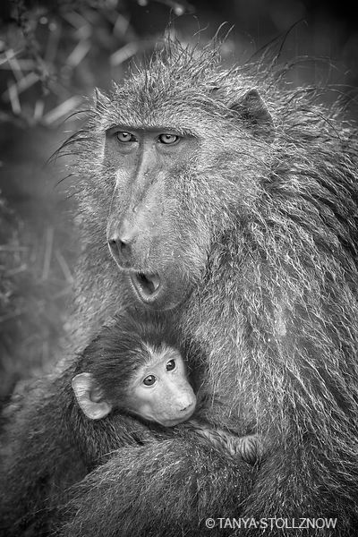 Chacma Baboon and Baby