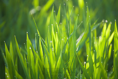 Backlit Grass with Dew 1