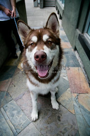 brown and white husky mix going for walk with owner