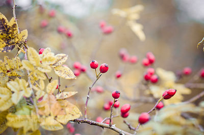 Dogrose, Rosa canina, in autumn