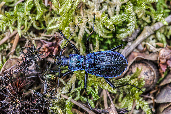 Carabe embrouillé - Ground Beetle (Chaetocarabus intricatus)
