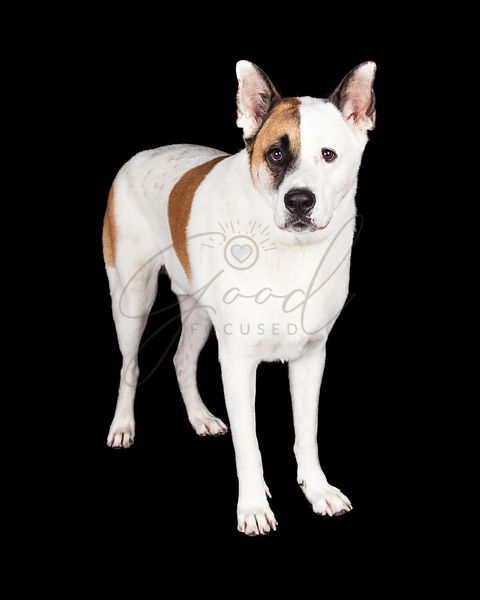 Dog Standing Over Black Background