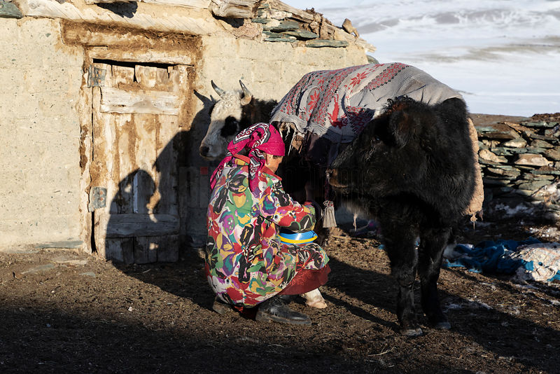 Bekysh's Wife Milking her Cows