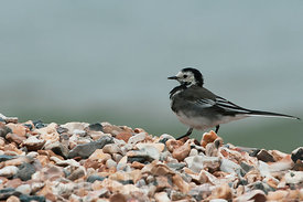 Pied Wagtail.