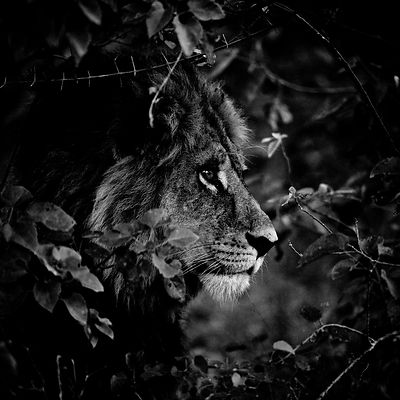1949-Lion_in_the_leaves_3_Kenya_2006_Laurent_Baheux
