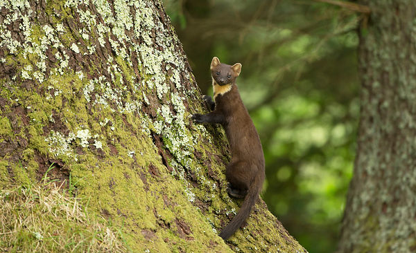A young Pine Marten kit quickly looks back towards the camera