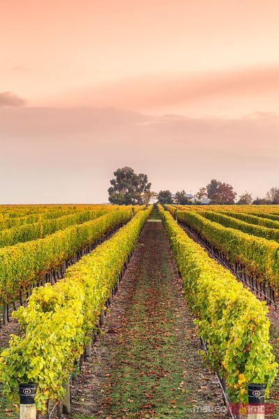 Vineyards at sunrise, Marlborough, South Island, New Zealand