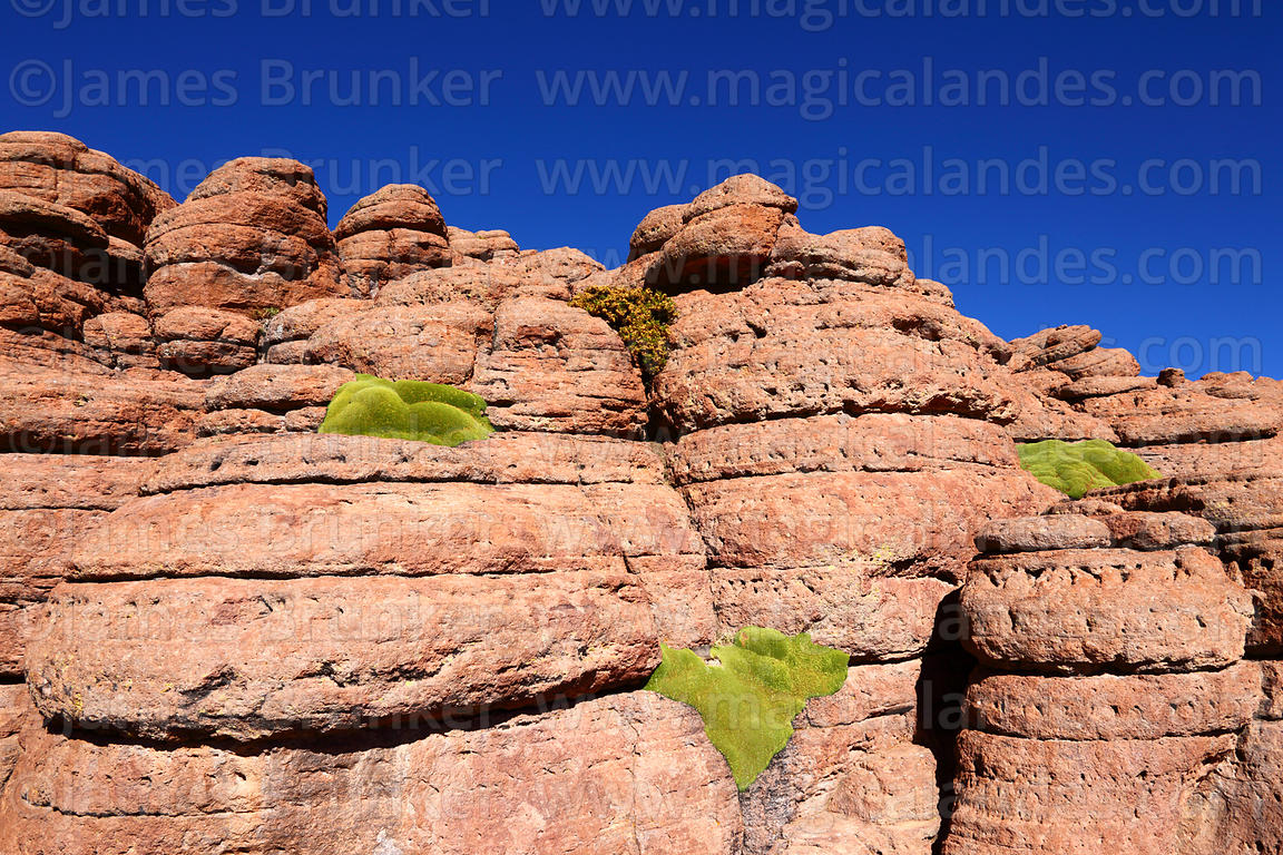 Yareta plants ( Azorella compacta ) growing on eroded rock outcrop , Siloli Desert , Bolivia