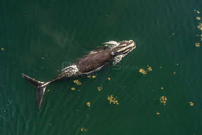 North Atlantic right whale (Eubalaena glacialis) with entanglement scars on the tail, aerial view, Bay of Fundy, Canada, Sept...