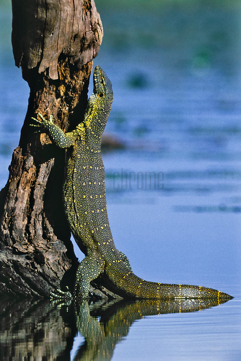 Nile Monitor Climbing Tree