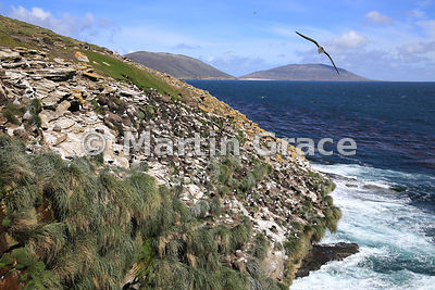 Black-Browed Albatross (Thalassarche melanophrys) nesting colony, The Rookery, Saunders Island, Falkland Islands