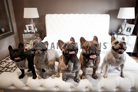 five french bulldogs standing on a bed looking up smilling