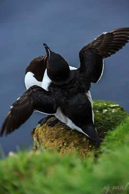 Dance of the Razorbills