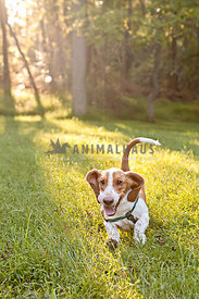 basset hound running in field