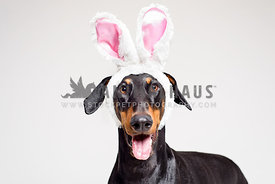 Doberman Pinscher wearing Easter Bunny ears
