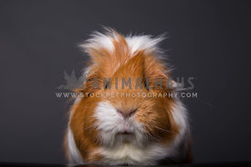 Adult guinea pig on dark background with messy fur