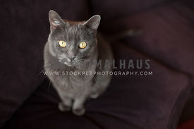 gray russian blue cat sitting on purple couch looking up at the camera