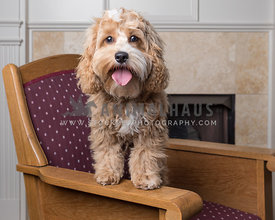 cockapoo on chair near fireplace