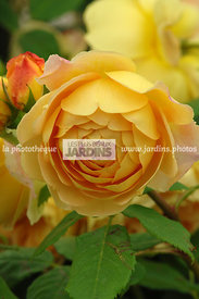 Rosa 'Golden Celebration' (Rose). Ausgold. Obtenteur : David Austin. Hampton Court. Angleterre.