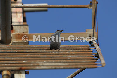 Blue Rock Thrush (Monticola solitarius) on an aerial, Castillo de Monfrague, Monfrague National Park, Extremadura, Spain