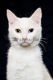 white cat with different color eyes